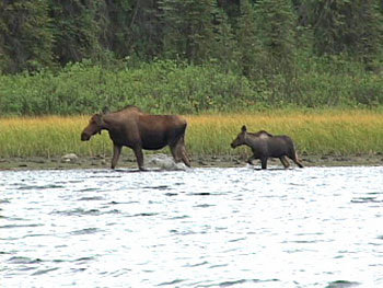Tebob Creek moose