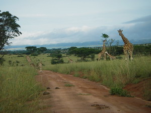Giraffes in Murchison National Park